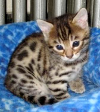 Animals Plants Rainforest: Bengal cat price (just side information)