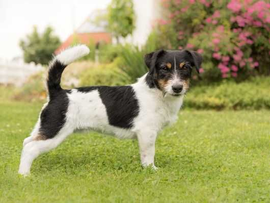 Labrador X Collie Dog Breeds Pet Breeds Jack Russell Dogs
