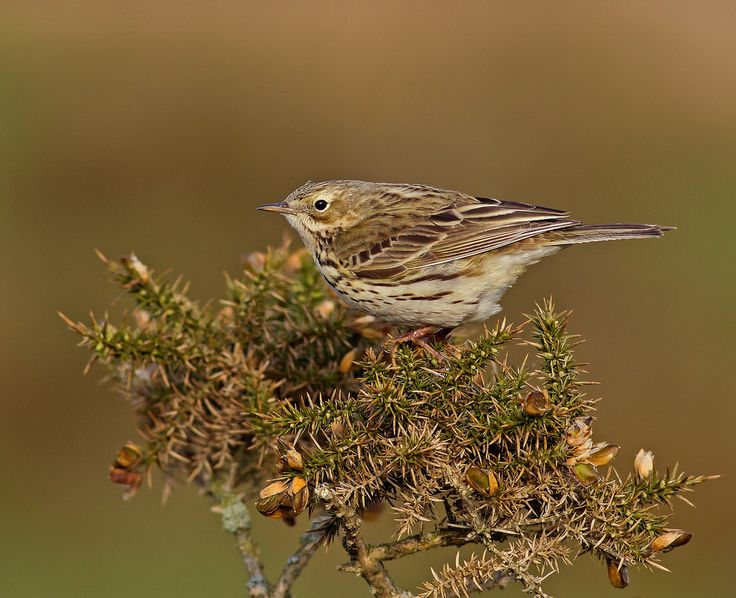 Meadow Pipit - Riding Out The Wind !! | Flickr - Photo Sharing!