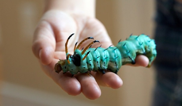 The Hickory Horned Devil (Citheronia regalis) which will develop into the Regal Moth. Many more interesting caterpillars posted - http://www.worldmostamazingthings.com/2012/04/amazing-caterpillars-weird-beautiful.html