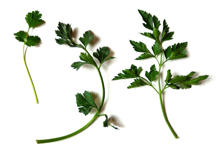 Very different taste and use, so be sure to know the difference, stores often mark them wrong.  On the left: coriander/cilantro - sweetish taste and smell-leaves rounded-a three-part leaf on one stem going into main stem;  middle:  celery leaves; right:  Italian/flat leaf parsley-pointed- three teeny leaves on separate stems going into one stem that comes out of main stem