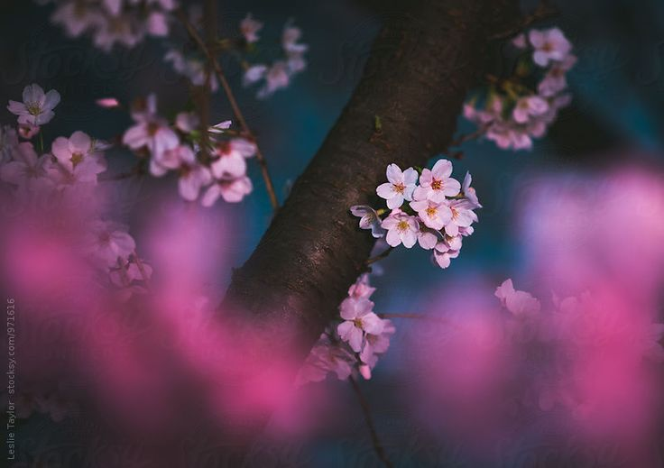 Cherry Blossoms Glowing In Night Lantern Light by Leslie Taylor for Stocksy United