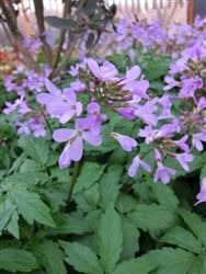 Cardamine quinquefolia - This is a delight in the spring with it's short stems of 8-12 pinkish-lilac flowers in March. This will make a spreading groundcover but dies back quickly after flowering so is not a problem and is perfect for planting around Hostas and other later arrivals. Very hardy and a classic spring ephemeral.
