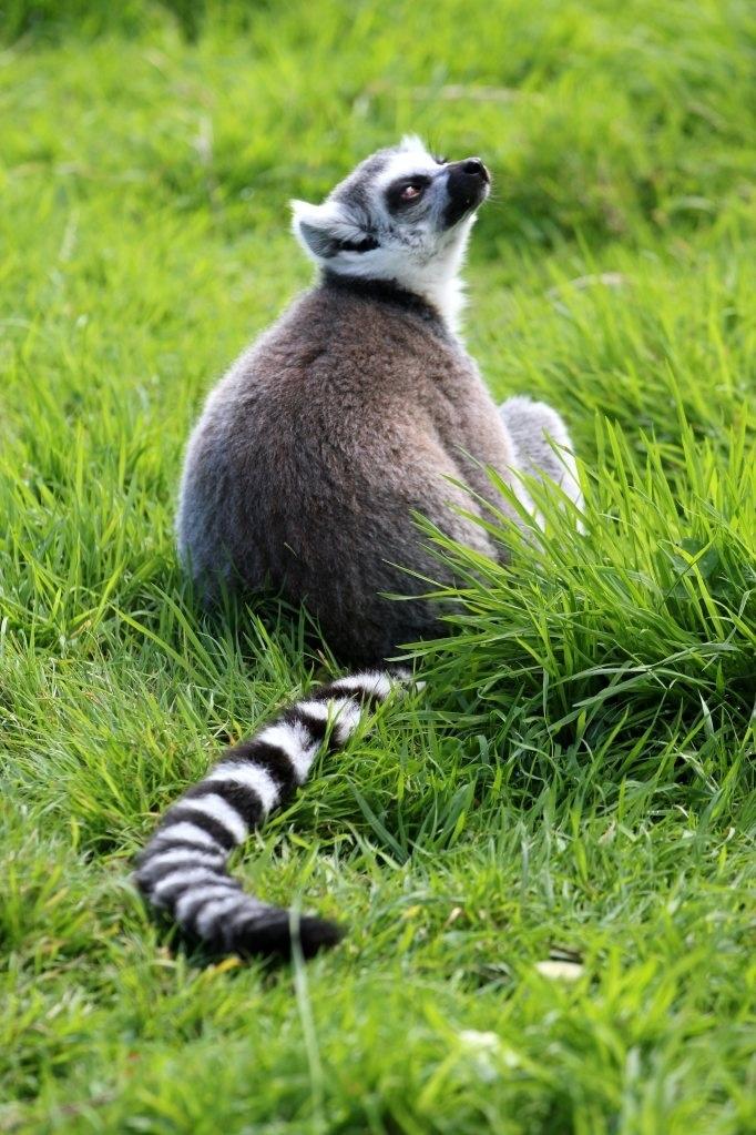 Lemur in Longleat Zoo