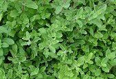 Marjoram Plant Care & Growing Information | Folia