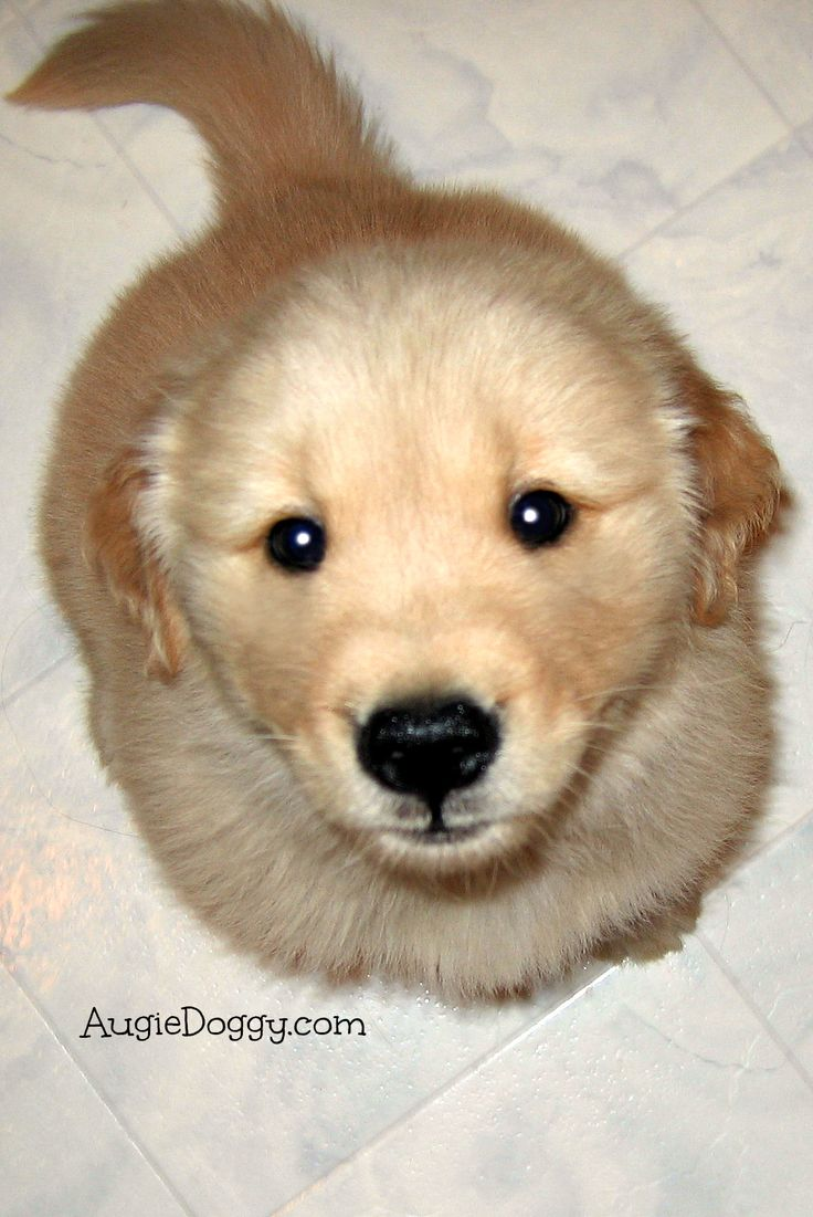 80 best images about golden retriever puppies on pinterest round stickers pillows and bully. Black Bedroom Furniture Sets. Home Design Ideas
