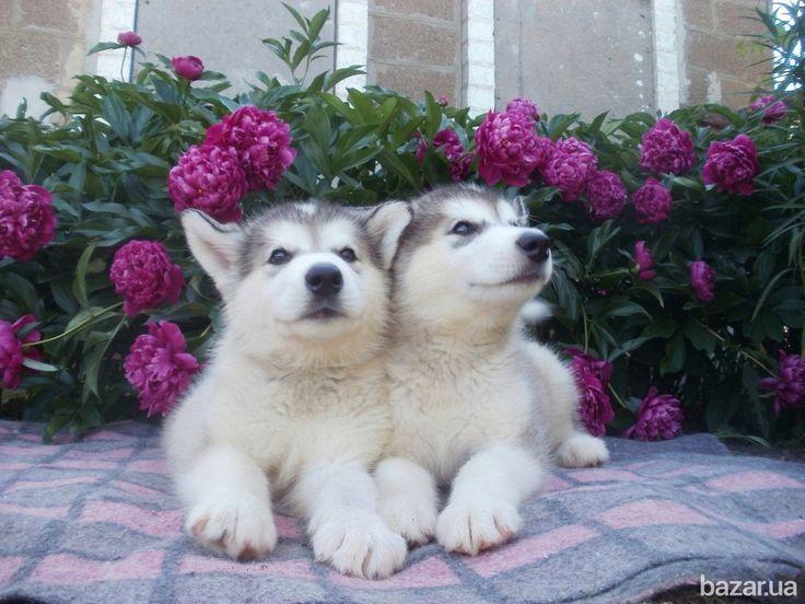 Продаются щенки Аляскинского маламута, дата рождения 10.04.17г. от пары Balu Endless Happiness & Aria Show Endless Happiness. Родители с...