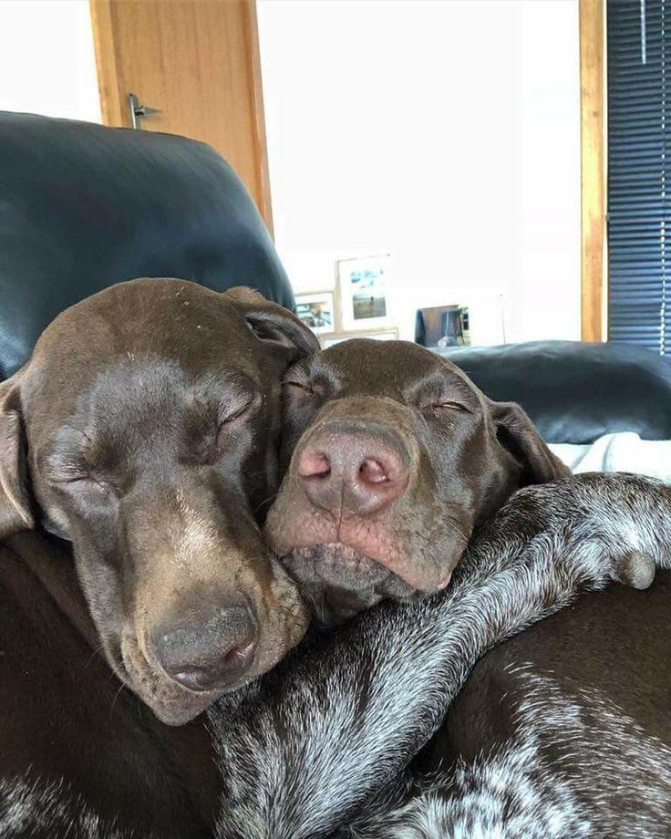 😍😍😍😢 Erinnert mich an meine Hershey! | Gsp puppies, Dogs