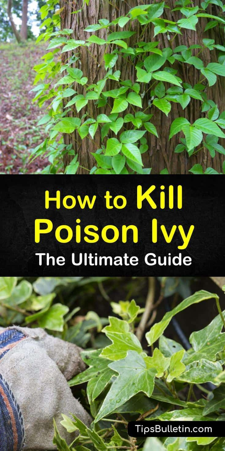 The Ultimate Guide To Kill Poison Ivy In 2020 Kill Poison Ivy