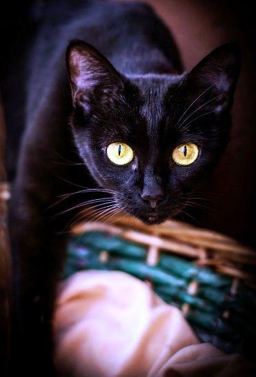 Люди, не верьте плохим приметам. Черные кошки приносят счастье, так и знайте!!!