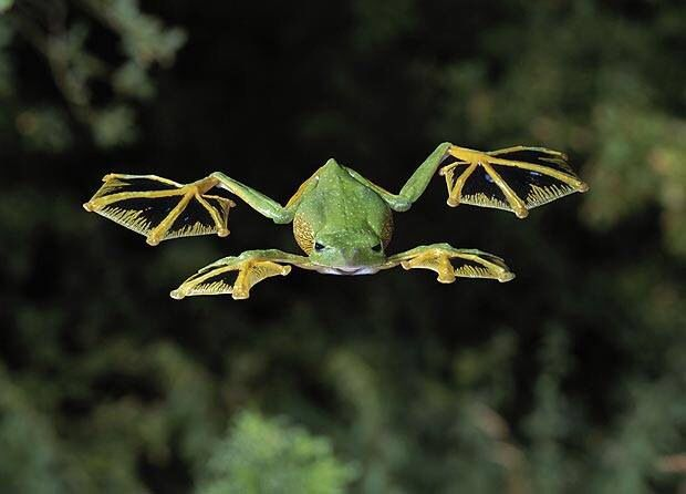 Also known as parachute frogs, Wallace's flying frogs inhabit the dense tropical jungles of Malaysia and Borneo. They live almost exclusively in the trees, descending only to mate and lay eggs (source: National Geographic) http://animals.nationalgeographic.com/animals/amphibians/wallaces-flying-frog/