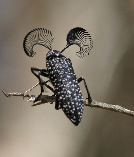 Feather Horned Beetle with Long Bushy 'Eyebrows'(Rhipicera femorata) by thefeaturedcreature: Males use their fantastic (hah!) antennae to locate a female feather-horned beetle that's emitting pheromones which indicate she is ready for mating. Photo by ron_and_beth #Insects #Australia