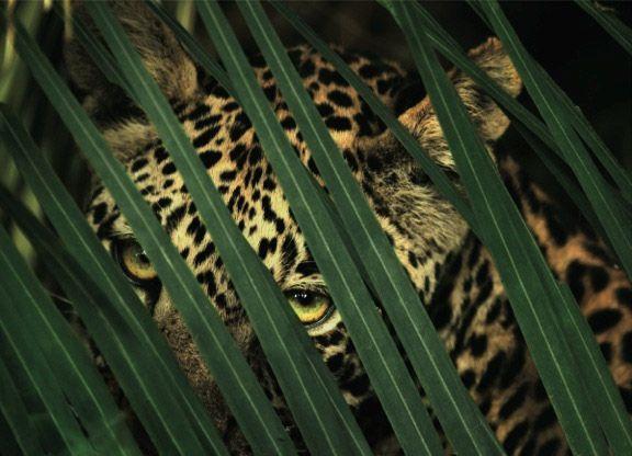 """Beverly Joubert """"Lezioni di caccia"""" - aprile 2007 - Chiefs Islands, delta dell'Okavango, Botswana // «L'Africa ha perso tra il 90 e il 95 per cento dei suoi leopard. Il nostro obiettivo è creare una consapevolezza che arresti il declino delle specie e contribuisca a ricreare zone di wilderness.» Molte delle sue immagini ritraggono l'aspetto rilassato dei predatori, che può essere colto solo se la fotografa ne conquista la fiducia."""
