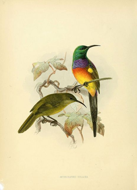 NectariniidaeBirds Prints, Birds Stuff, Sun Birds, Birds Anthrobaph, Art, Birds Illustration, Birds Illness, Animal, Birds Journey