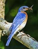 lunch: A Critters Birds 1, Eastern Bluebird Jpg 401 512, Bluebirds Eastern, Backyard Birds, Eastern Bluebirds, Beautiful Birds, Bird Photography