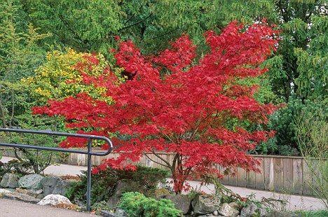 """Japanese Maple - Acer palmatum """"Osakazuki"""""""