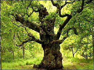 "The Major Oak of Sherwood Forest.  Oak is revered during Litha celebrations.  The Celtic word for ""Oak"" is ""Duir,"" which means ""doorway."""