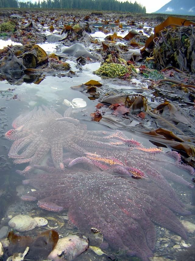 Sunflower starfish, southeast Alaska