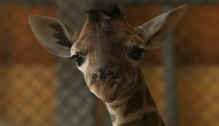 April The Giraffe Baby Name Release Date: Giraffe Cam Returns As Animal Adventure Park Voting Part 2 Begins