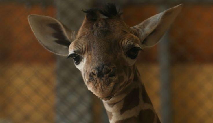 April The Giraffe Baby Name Release Date: Giraffe Cam Returns As Animal Adventure Park Voting Part 2 Begins