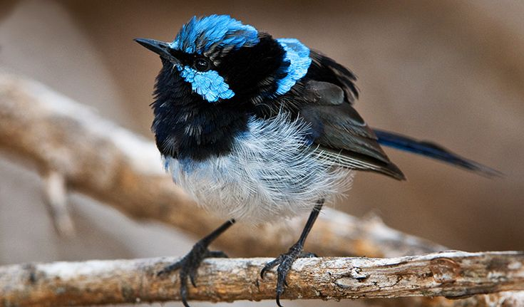 superb-fairy-wren-02.ashx (767×450)