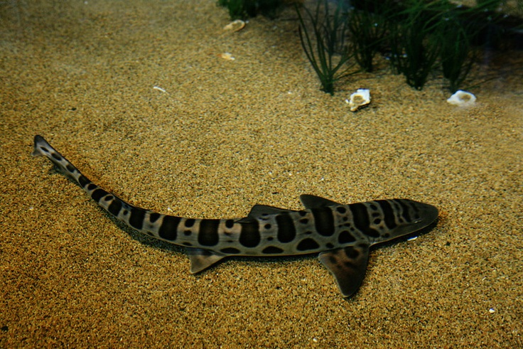 Zebra Shark Facts | Extreme Shark Facts!  |Leopard Shark Babies
