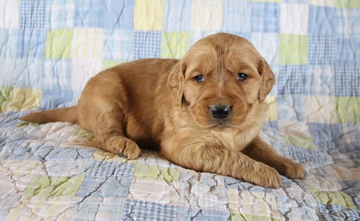 Bentley AKC Golden Retriever male pup for sale at