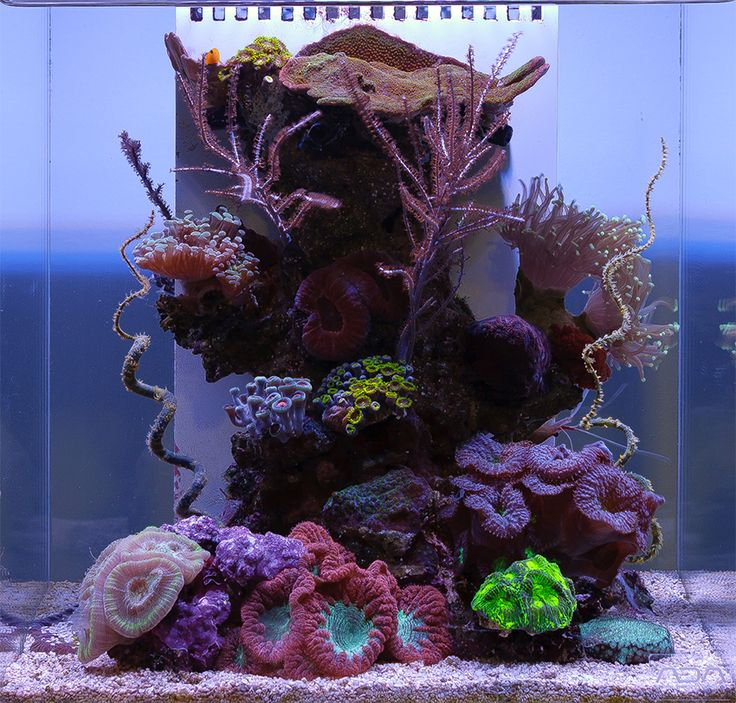17 best images about coral sea life on pinterest for Aquarium recifal nano