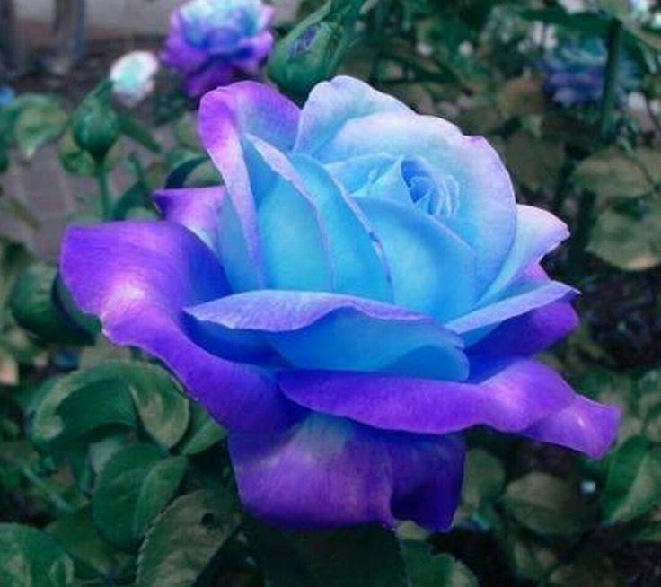 10 Rosensamen Kobaltblau Gothic Gardenin Blaue Rosen-Samen Pflanzen DE HOT SELL