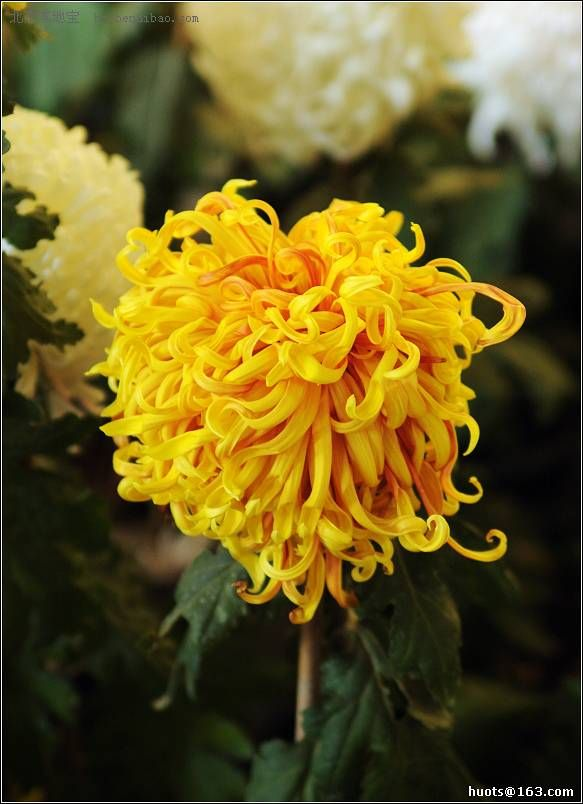 Chrysanthemum Japanese Garden: 50 Best Images About Chrysanthemums 2 On Pinterest