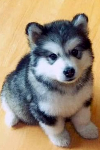 Pomsky or Pomeranian Husky mix. I had NO idea that this mix existed! The best of both of my favorite dogs!