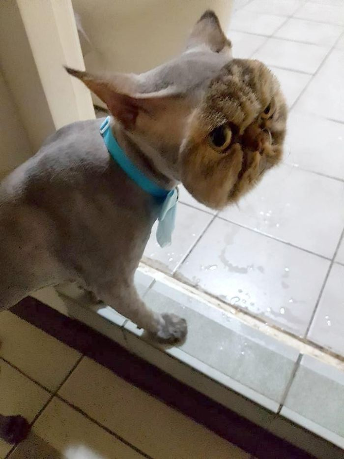 Owner Surprised After Taking Her Cat To A Groomer