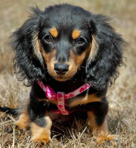 dachshund puppies - Google Search