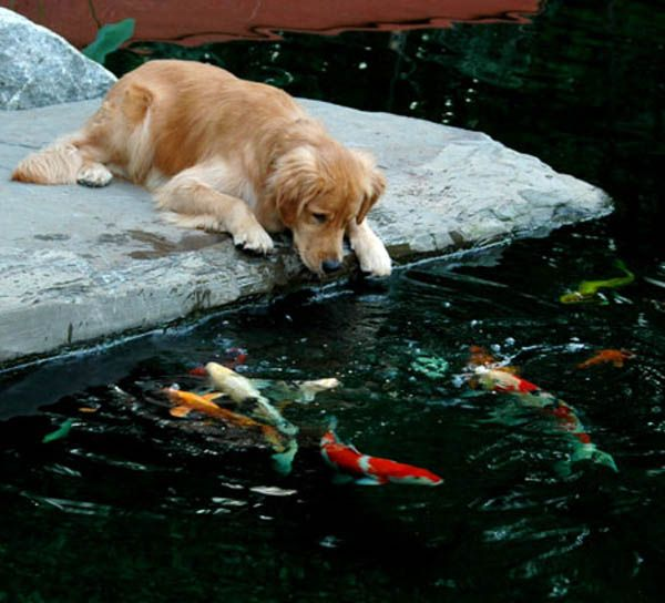 Dogs love ponds so cute golden retrievers and fish for Koi pond labradors
