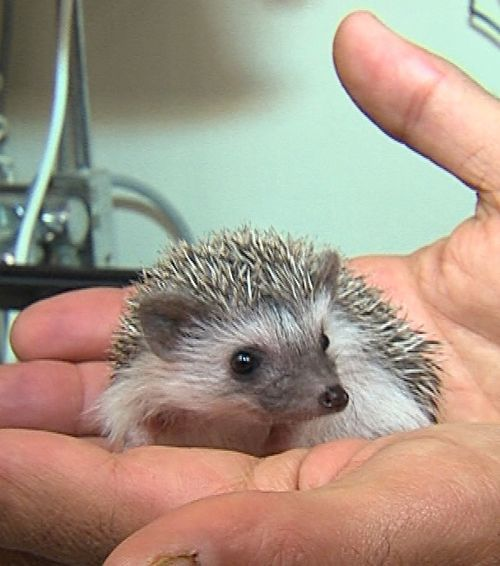 Shane, Cincinnati Zoo's Baby African Pygmy hedgehog.    Also known as:  Shane, cutest little thing ever!