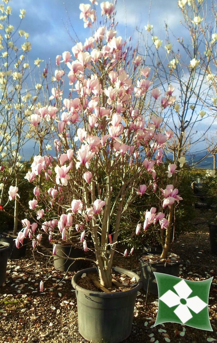 18 best magnolia a foglia caduca feuilles caduques. Black Bedroom Furniture Sets. Home Design Ideas