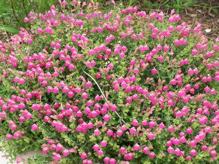 Texas Cherry Skullcap  Groundcover that is drought resistant and heat tolerant
