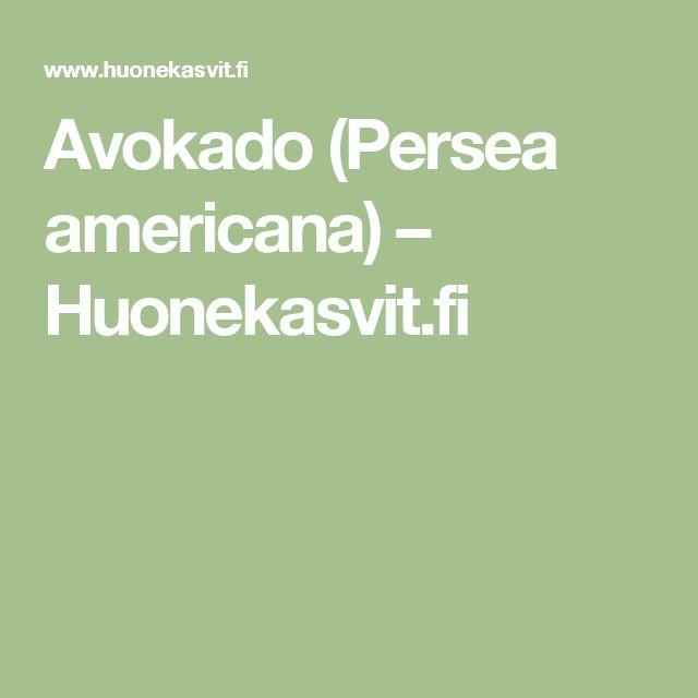 Avokado (Persea americana) – Huonekasvit.fi