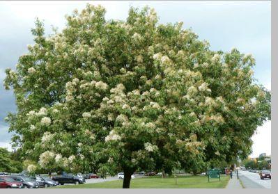 fraxinus ornus flowering ash