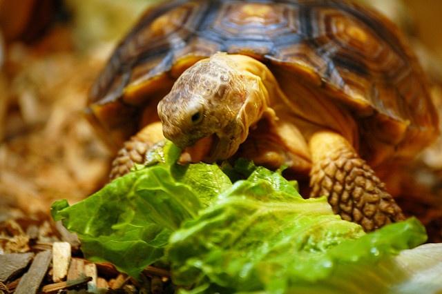 Lettuce lover Turtles ~ Tortoises Pinterest