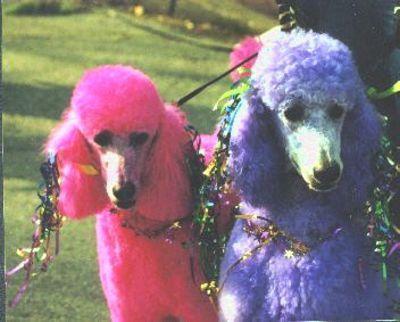 Blue Dyed Standard Poodle 27 best Poodles and cu...