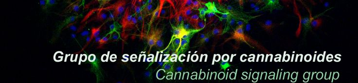 The group is coordinated by Manuel Guzmán. Nowadays, Ismael Galve-Roperh, Cristina Sánchez and Guillermo Velasco coordinate three of the ongoing research lines in our group.        Currently, the major focus of our group is the study of the mechanisms by which cannabinoids – the active components of Cannabis sativa L. – and their endogenous counterparts control the proliferation, differentiation and survival of different types of cells.
