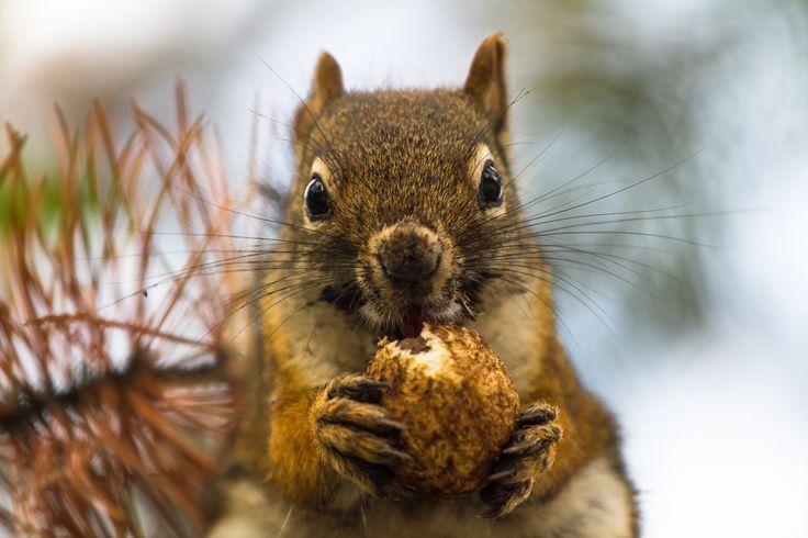 Yellowstone Chipmunk #yellowstone #nationalpark #squirrel #chipmunk http://hikersbay.com/go/usa