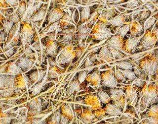 Piloselle : une petite fleur jaune qui élimine et nettoie !