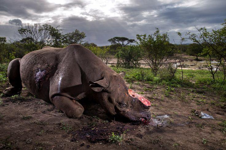 Premier prix Nature, catégorie reportages. Les guerres des rhinocéros. Le cadavre d'un rhinocéros tué quelques heures plus tôt, sur la réserve sud-africaine de Hluhluwe Umfolozi.     PHOTO BRENT STIRTON / GETTY IMAGES / NATIONAL GEOGRAPHIC
