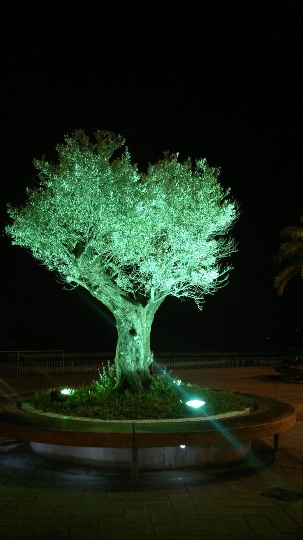 Ulivo verde, Alassio