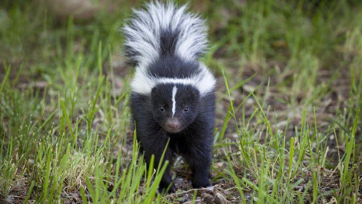 1000+ Ideas About Skunks On Pinterest