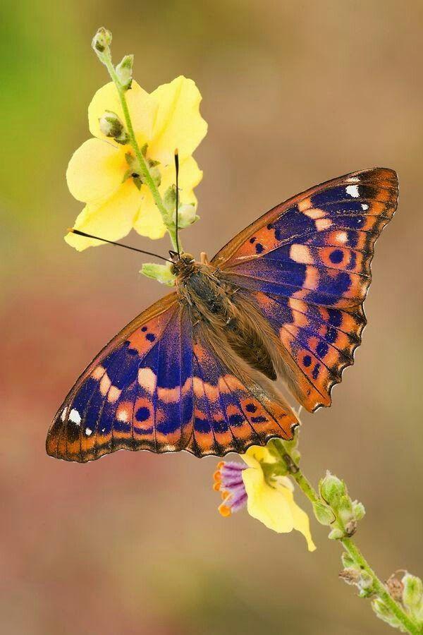 European Farfalla Butterfly