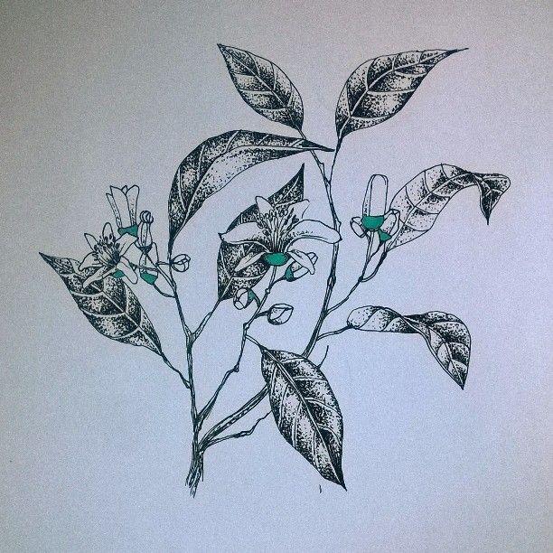 Neroli #perfume #plant #flowers #drawing #pen #nature #illustration #pantone