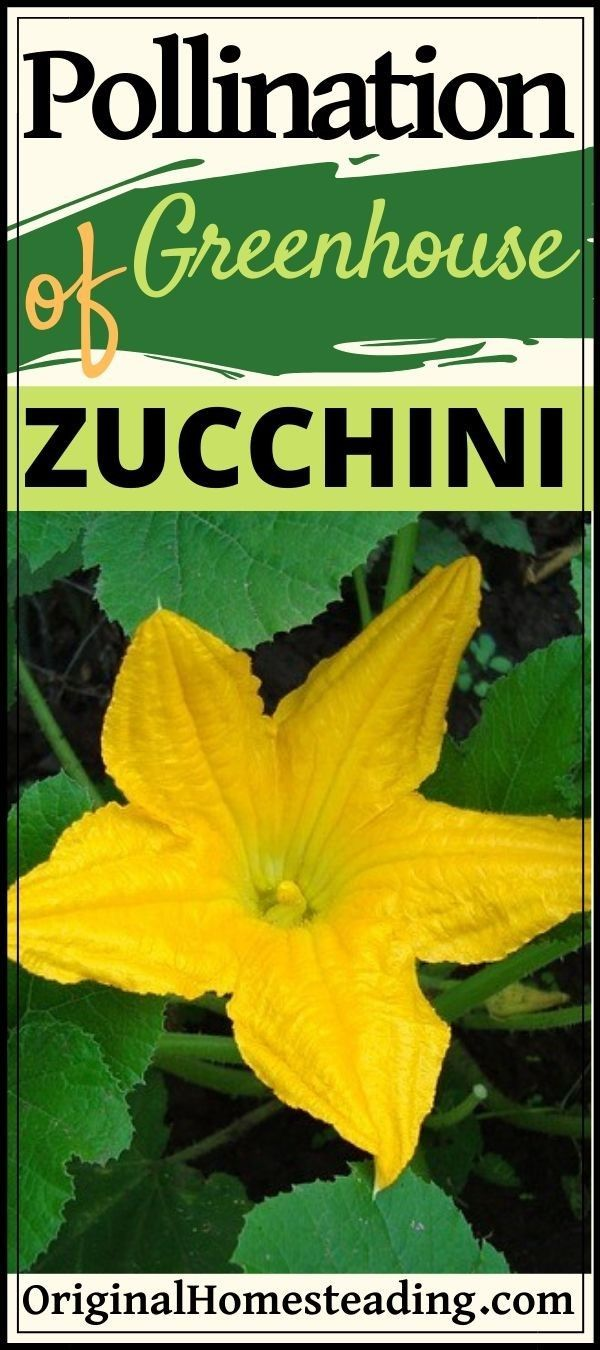 Pollination Of Zucchini Plants In Greenhouse Setting Zucchini Plants Vegetable Garden For Beginners Plants